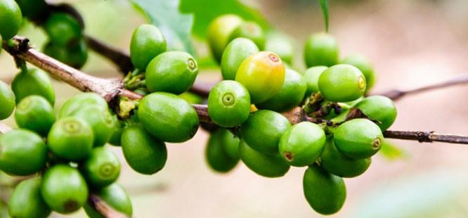 Green Coffee hộp 30 viên loại 800 mg -4